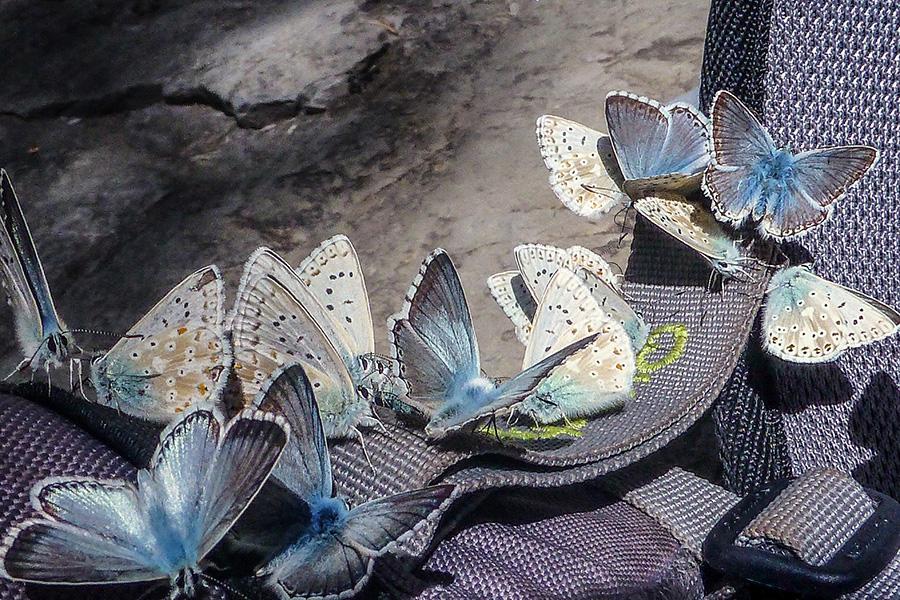 Polyommatus Icarus en Añisclo